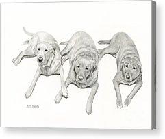 Mixed Labrador Retriever Acrylic Prints