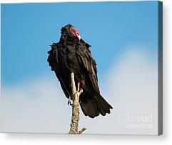 Turkey Vulture Acrylic Prints