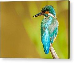 Kingfisher Acrylic Prints