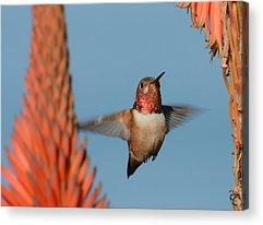 Allens Hummingbird Acrylic Prints