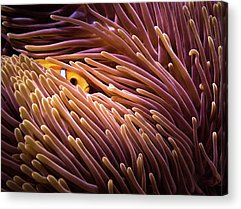 Anemonefish Photographs Acrylic Prints