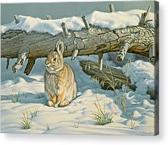 Cottontail Acrylic Prints