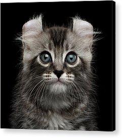 Kittens Acrylic Prints