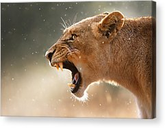 Big Cats Acrylic Prints