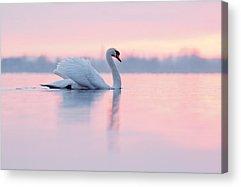 Swan Acrylic Prints