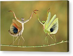 Mantis Acrylic Prints