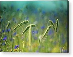 Blue Cornflower Acrylic Prints