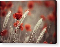 Poppies Acrylic Prints