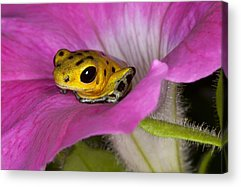 Poison Frogs Acrylic Prints