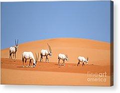 Arabian Acrylic Prints
