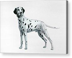 Dalmatian Acrylic Prints