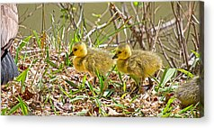 Hatchlings Acrylic Prints