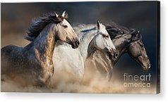 Foal Acrylic Prints