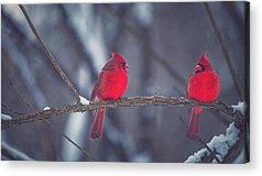 Cardinal Acrylic Prints