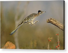 Roadrunner Acrylic Prints