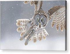 Great Grey Owl Acrylic Prints