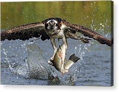 Osprey Acrylic Prints