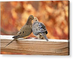 Mourning Dove Acrylic Prints