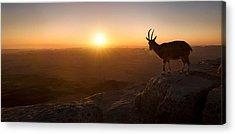 Goat Acrylic Prints