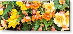 Begonias Acrylic Prints