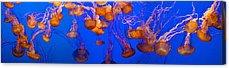 Image Of Jelly Fish Acrylic Prints
