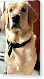 Labrador Dog Photographs Acrylic Prints