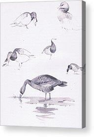 Geese Drawings Acrylic Prints