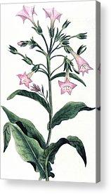 Nicotiana Tabacum Acrylic Prints