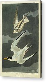Tern Acrylic Prints