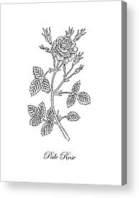 Red Rose Drawings Acrylic Prints