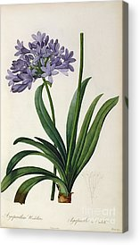 Agapanthus Umbrellatus Acrylic Prints