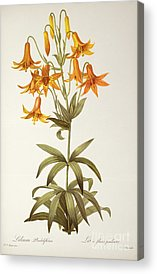 Red Lily Acrylic Prints