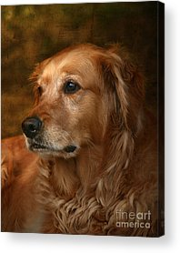 Golden Retriever Acrylic Prints