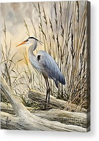 Blue Heron Acrylic Prints
