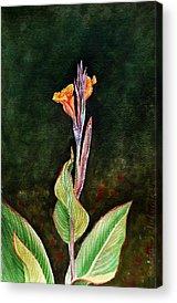 Canna Paintings Acrylic Prints