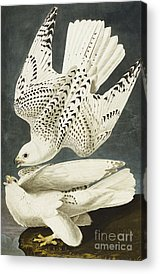 Falcon Acrylic Prints