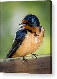 Baby Swallows Acrylic Prints