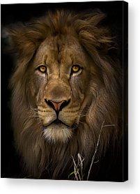 Lioness Acrylic Prints