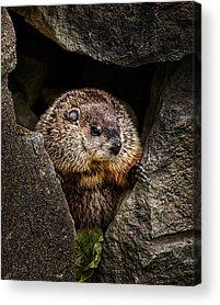 Groundhog Acrylic Prints