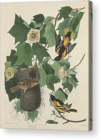 Orioles Drawings Acrylic Prints