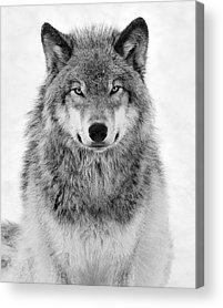 White Wolf Photographs Acrylic Prints