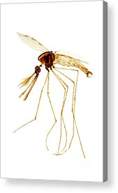 Designs Similar to Anopheles Mosquito Male