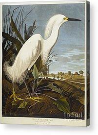 Snowy Egret Acrylic Prints