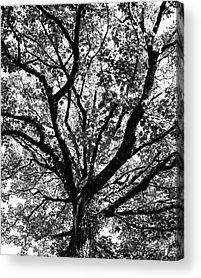 Bear R Humphreys Acrylic Prints