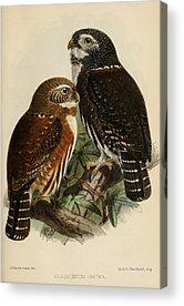 Pygmy Owl Acrylic Prints