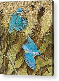 Kingfisher Acrylic Prints