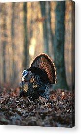 Eastern Wild Turkey Acrylic Prints