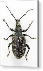 Coleoptera Acrylic Prints