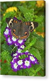 Buckeye Butterfly Acrylic Prints