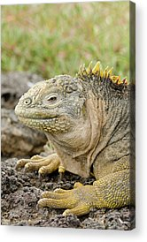 Land Iguana Acrylic Prints